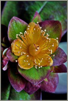 St John's Wort  (Hypericum androsaemum) 'Albury Purple'