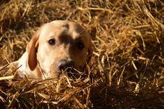 Gårdstunet Hundepensjonat: Herlig vinterdag! Labrador Retriever, Dogs, Animals, Labrador Retrievers, Animales, Animaux, Pet Dogs, Doggies, Animal