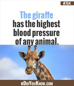 The giraffe has the highest blood pressure of any animal. http://edidyouknow.com/did-you-know-764/