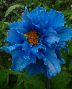 ✯ Himalayan Poppy ✯i'd like to see a flower like this.see the little drops of dew on it.