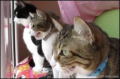 CAT GIF • Funny Cats chirping together at Birds. DO WANT we are hungry