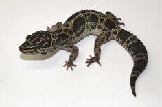 Melanistic Leopard Gecko