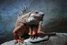 "Iguana. ""the king of all reptiles"" photo by holger droste via onebigphoto.com"