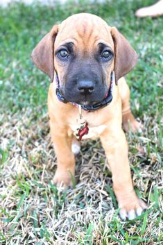 Rhodesian Ridgeback ~ These dogs were bred for lion hunting. That's right. LION HUNTING. I need one, or two, or three...