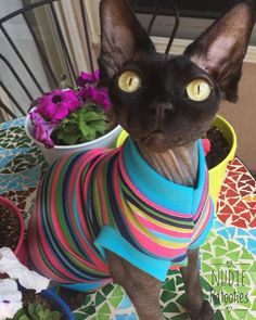 Colorful with Sparkle Stripe shirt for your cat, sphynx, Peterbald, Devon Rex, and Bambino
