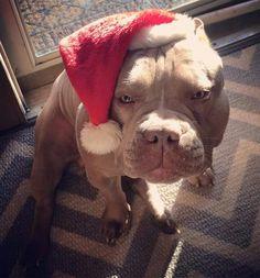 I❤U PIT BULL!!!MERRY CHRISTMAS!! #pitbull
