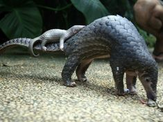 WORLD PANGOLIN DAY Today is the day for the pangolin, the aardvark-like, artichoke-like mammal that is the world's most-trafficked animal. A pangolin carries her baby at a zoo in Bali, Indonesia. Delegates at a U.N. wildlife conference have voted to ban commercial trade in all eight species of pangolin. Photo by Firdia Lisnawati/AP https://www.npr.org/sections/thetwo-way/2016/09/28/495778859/pangolins-the-artichoke-with-legs-earn-top-trade-protection
