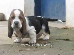 can't even take how cute bassets are.. i want one. plus the music on this is legit