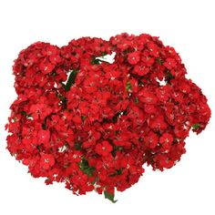 FiftyFlowers.com - Sweet William Red Flowers