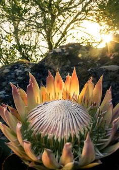 So Special! Our Protea. Overseers - Table Mountain, South Africa by Stefan Olivier, via Behance Cactus, Exotic Flowers, Beautiful Flowers, Simply Beautiful, National Botanical Gardens, Protea Flower, Protea Plant, King Protea, Out Of Africa