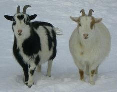 Horned & Naturally Polled Genetics In Goats Polled = born naturally hornless. Disbudded = horn buds have been removed.