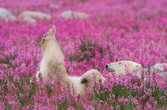 Çiçek Alanlarının Playing Kanadalı Fotoğrafçı yakalar Kutup Ayıları