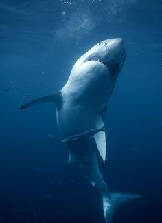 Great White #Shark #scubadiving #TribloOdive
