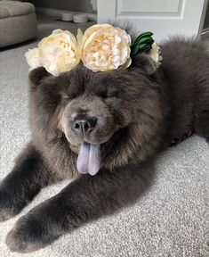 Black Chow Chow Puppies, Chow Puppies For Sale, Chow Chow Dogs, Dogs And Puppies, Doggies, Cute Funny Dogs, Cute Funny Animals, Adorable Dogs, Protective Dogs