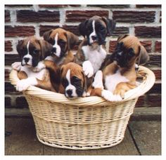 Basket of Boxers.I want a boxer puppy Boxer Bulldog, Boxer Puppies, Kittens And Puppies, Boxer And Baby, Boxer Love, I Love Dogs, Puppy Love, Cute Dogs, Heart Boxers