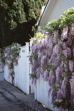 Craftsman fence festooned with flowering wisteria.