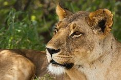 Lioness (Panthera leo), Samburu, Kenya