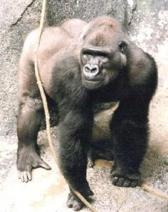 "Meet Ndume: The feces-flinging gorilla with a heart  The plight of Ndume, ""talking"" gorilla Koko's rejected paramour, becomes more pressing when you learn a little about him and the challenges he has faced during his 31 years. chimptrainersdaughter.blogspot.co.uk"