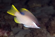 *HAWAIIAN HOGFISH