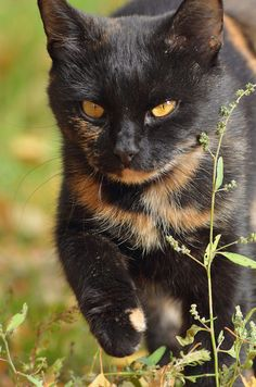 A mostly-black tortoiseshell cat. Such a gorgeous and unique coat!