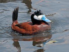 Ruddy Duck by Sergey Yeliseev, via Flickr