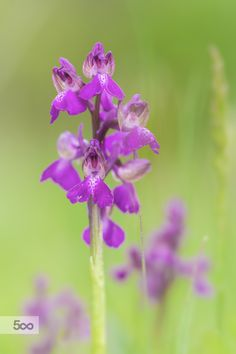 Photograph Green-winged orchid by Jivko Nakev on 500px