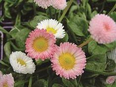 Best tips and tricks about organic gardening Organic Plants, Garden Online, Spring Bulbs, Small Plants, Bellis Perennis, Modern Japanese Garden, Perennials, Plants, Urban Garden