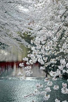 burningseraphim:    Four Seasons / Meguro River in Tokyo on We Heart It. http://weheartit.com/entry/38589530