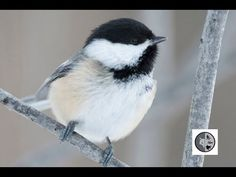 Birds of Quebec: Black-capped Chickadee, White-breasted Nuthatch and Red. Black Capped Chickadee, Beautiful Birds, North America, Wildlife, Constance, American, Nature, Basement, Canada