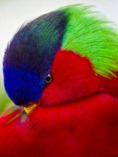A Collared Lory - Collared Lorikeet Tropical Birds, Exotic Birds, Pretty Birds, Beautiful Birds, Toucan, San Diego Zoo, Cockatoo, Parakeet, Wild Ones