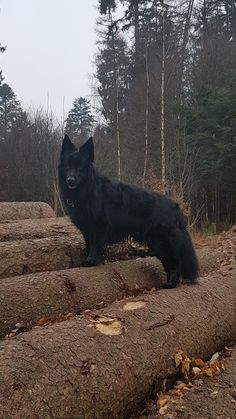 Black German Shepherds-Black German Shepherds Black German Shepherd's Neo loves it when I take pictures of him …. Black German Shepherd Dog, German Shepherd Puppies, German Shepherds, Wolf Hybrid Dogs, Canis Lupus, Malinois Dog, Cat Dog, Beautiful Dogs, I Love Dogs