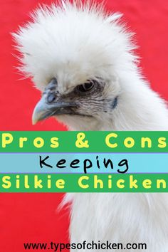 PROS & CONS of Keeping Silkie Chickens! Types Of Chickens, Raising Backyard Chickens, Keeping Chickens, Silkie Chickens, Pet Chickens, Hatching Chickens, Chicken Incubator, Building A Chicken Coop, Chicken Eggs