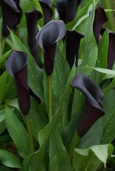 Few fresh cut flowers offer the elegance and versatility of the calla lily. If you are designing your own wedding bouquet, centerpieces or arrangements, the calla lily will provide all of the style… Dark Flowers, Exotic Flowers, Amazing Flowers, Beautiful Flowers, Black Calla Lily, Zantedeschia, Gothic Garden, Black Garden, Calla Lillies
