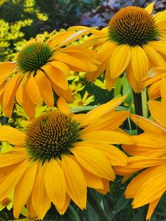 Echinacea Lenani Splashes of sunshine yellow blooms provide wonderful impact Full Sun; Rare Flowers, Yellow Flowers, Beautiful Flowers, Aster, Flowers Perennials, Planting Flowers, Pot Plante, Plantation, Mellow Yellow
