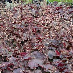 Heuchera micrantha 'Palace Purple' (grote pot) - puperklokje - Bodembedekkers, Vaste planten | Maréchal