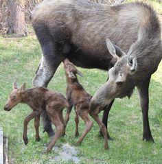Mama moose and her twin calves, born mid-May in Anchorage Alaska. Some of Anchorage's urban wildlife Large Animals, Animals And Pets, Baby Animals, Cute Animals, Wild Animals, Moose Deer, Moose Hunting, Moose Pics, Pheasant Hunting