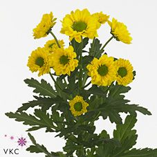 Chrysanthemums Santini Aviso is a yellow variety of miniature santini chrysanthemum with a green centre. All santini chrysanths are multi-headed, 55cm tall & wholesaled in 25 stem wraps. A superb flower with endless possibilities in floristry.