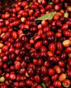 Colombia, Narino, fresh coffee beans, close up Fresh Coffee Beans, Coffee Poster, Close Up, Bulk Nuts, Food Photography, Corona