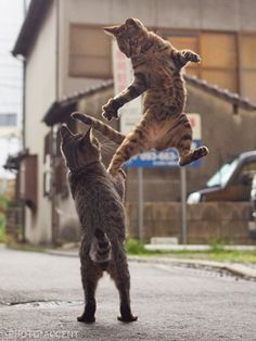 Looking for more FUNNY Cat Photos? Click The Photo to see more #funnycats #catloverscommunity #catmemes #adorablecats #catfacts Warrior Cats, Funny Cat Photos, Funny Cat Videos, Funny Animal Pictures, Funny Cats, Jumping Cat, Ninja Cats, Kung Fu, Dancing Cat