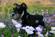 The miniature schnauzer may be small in size, but that doesn't affect its big personality.