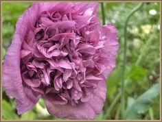 Papaver somniferum 'Violetta Blush'