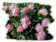A beautiful display of pink cactus dahlias, just one of the varieties in my wife's garden section for dahlias in the Lake Country District of the Okanagan Valley in British Columbia, Canada.