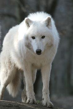 Shinefur, alpha male of WinterPack