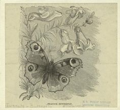 Peacock Butterfly, 1884 - NYPL Digital Collection