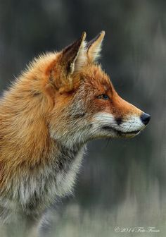 beautiful-wildlife: Le Renard roux by Foto Foosa
