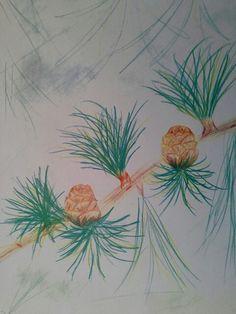 Illustration to accompany write up on conifers