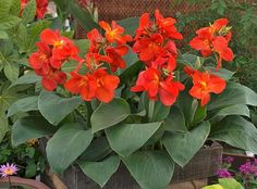 Canna lily plants are among the most colorful summer bulbs. While typically grown as annuals in cooler regions, canna lily plants can color the garden year after year. Amazing Flowers, Flowers, Flower Garden Design, Annual Plants, Flower Seeds, Plants, Easy Care Plants, Deer Resistant Perennials, Lily Plants