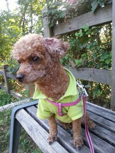 Shinny choco poodle
