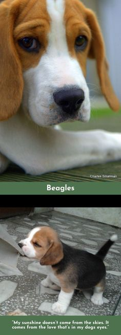 Find more information on Beagles #Beagles Simply click here for more info...