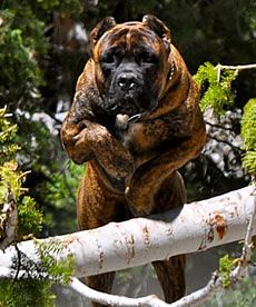 Cane Corso Security System, highly sophisticated protection for personal, family, and property security.